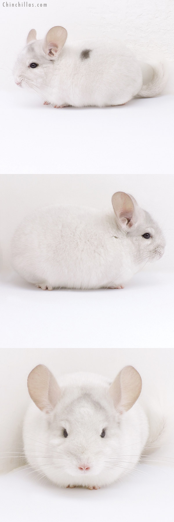 19033 Show Quality Pink White Male with Body Spot Chinchilla