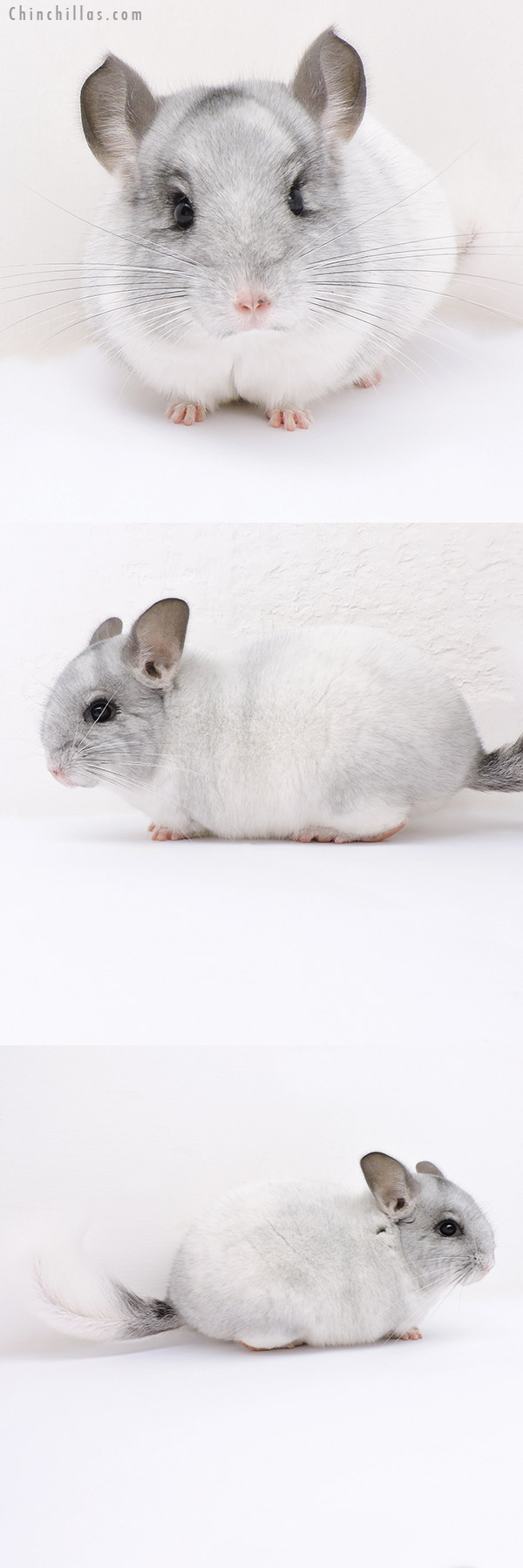 19031 Brevi Type Herd Improvement Quality White Mosaic Male Chinchilla