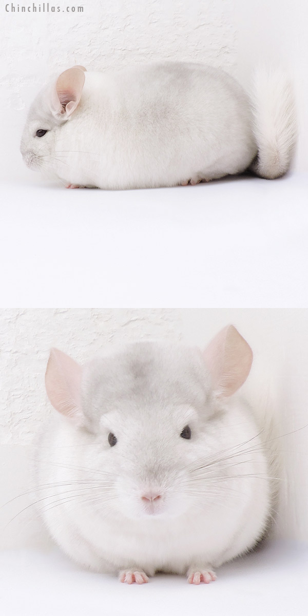 19042 Blocky Premium Production Quality Pink White Female Chinchilla