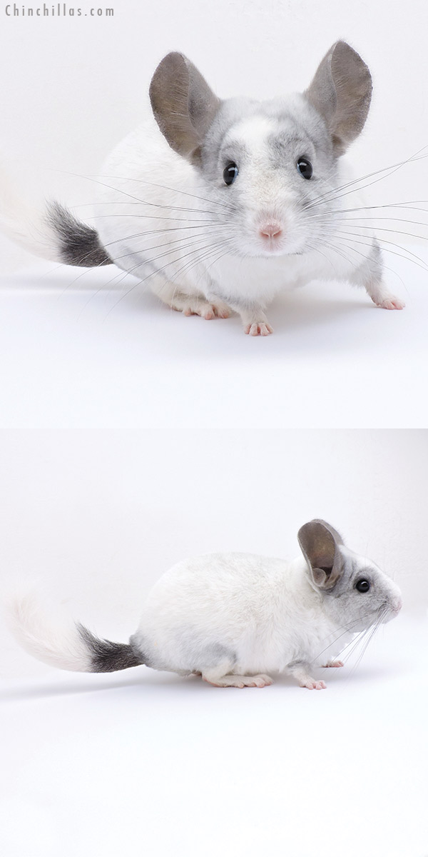 19054 White Mosaic ( Ebony & Locken Carrier ) Female Chinchilla
