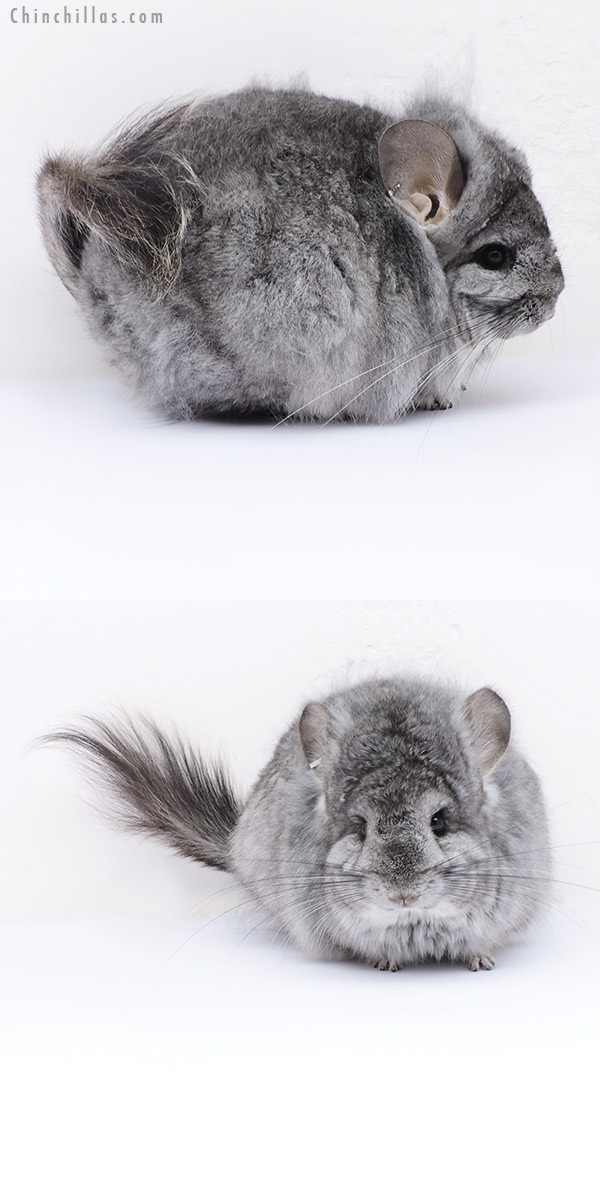 19068 Exceptional Standard ( Sapphire Carrier ) CCCU Royal Persian Angora Female Chinchilla