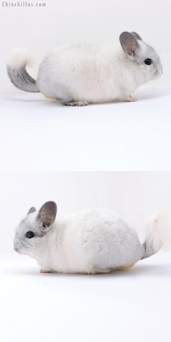 19088 Premium Production Quality White Mosaic Female Chinchilla