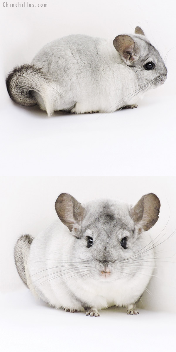 19152 Show Quality White Mosaic Female Chinchilla