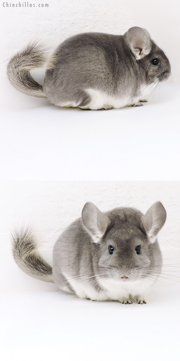 19236 Large Blocky Premium Production Quality Violet Female Chinchilla