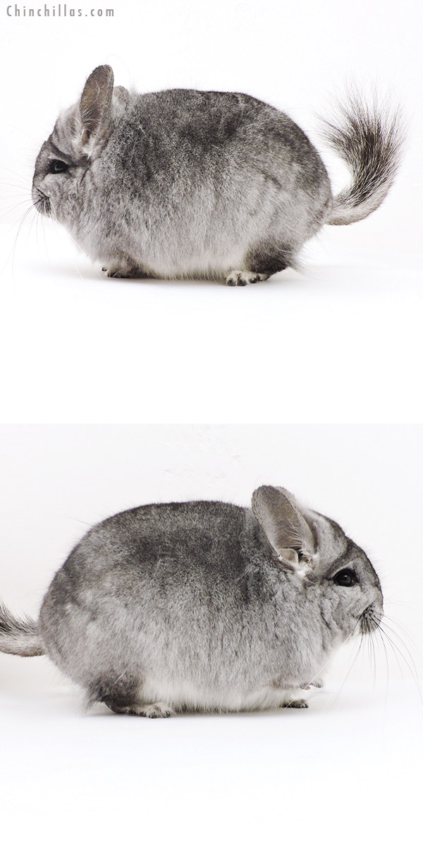19251 Exceptional Blocky Standard CCCU Royal Persian Angora Male Chinchilla
