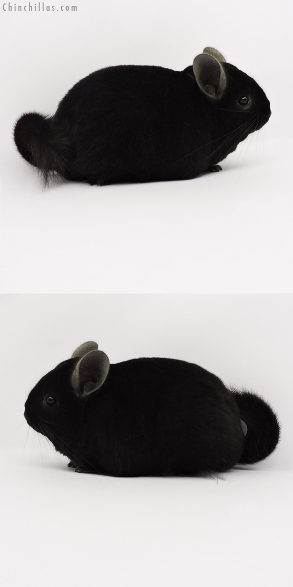 19285 Premium Production Quality Ebony Female Chinchilla