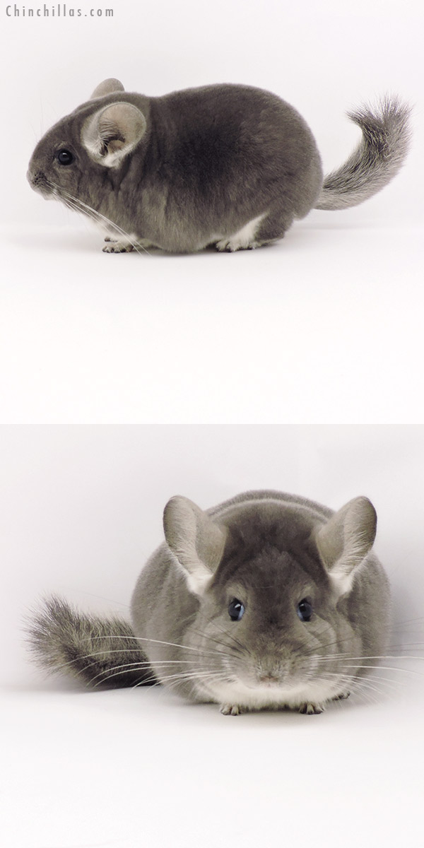 19302 Blocky Premium Production Quality Violet Female Chinchilla