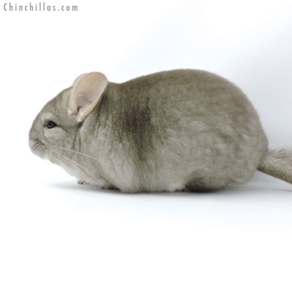 19301 Premium Production Quality Beige Female Chinchilla