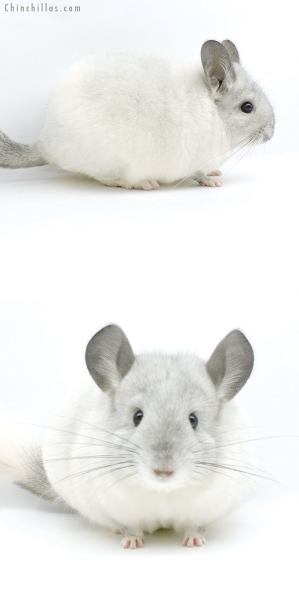 19326 Premium Production White Mosaic Female Chinchilla