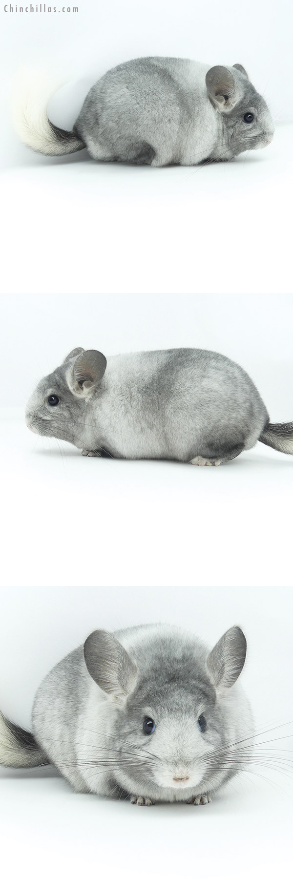 19364 Blocky Premium Production Quality Ebony & White Mosaic ( Violet Carrier ) Female Chinchilla