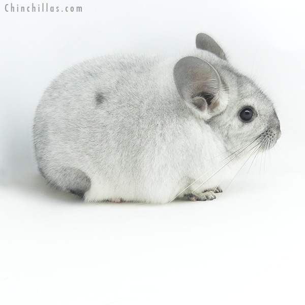 19362 Large Premium Production Quality Silver Mosaic Female Chinchilla