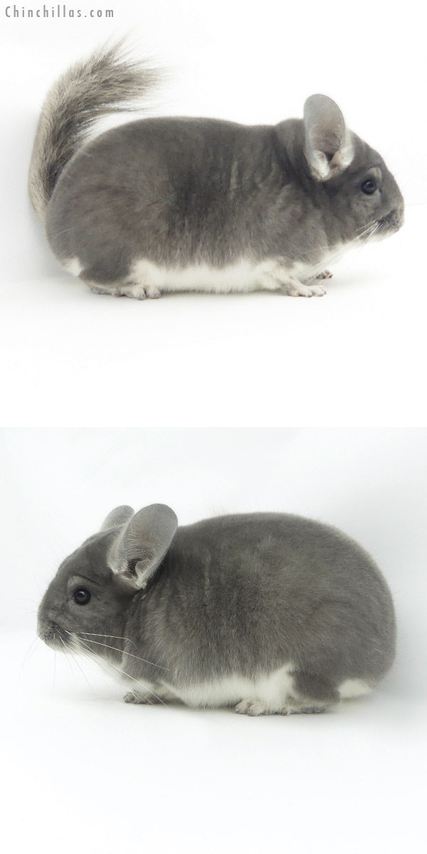 19370 Blocky Herd Improvement Quality Violet Male Chinchilla