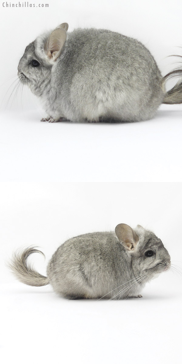 19393 Standard ( Violet Carrier ) CCCU Royal Persian Angora Female Chinchilla