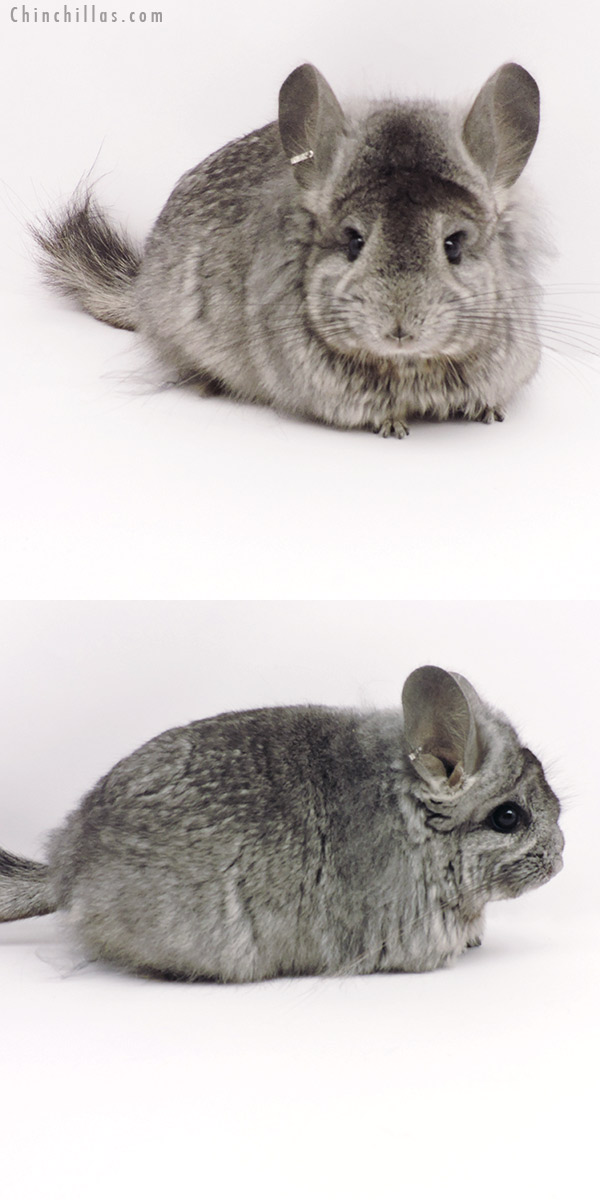 19314 Standard ( Ebony & Locken Carrier ) CCCU Royal Persian Angora Female Chinchilla