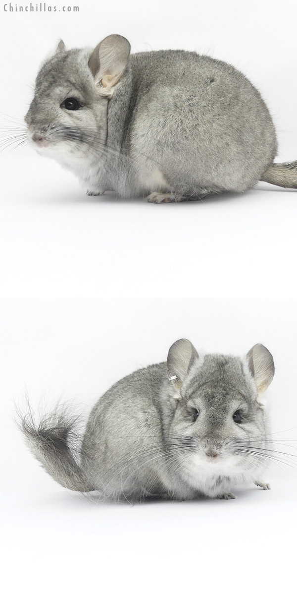 19416 Standard ( Violet Carrier ) CCCU Royal Persian Angora Female Chinchilla