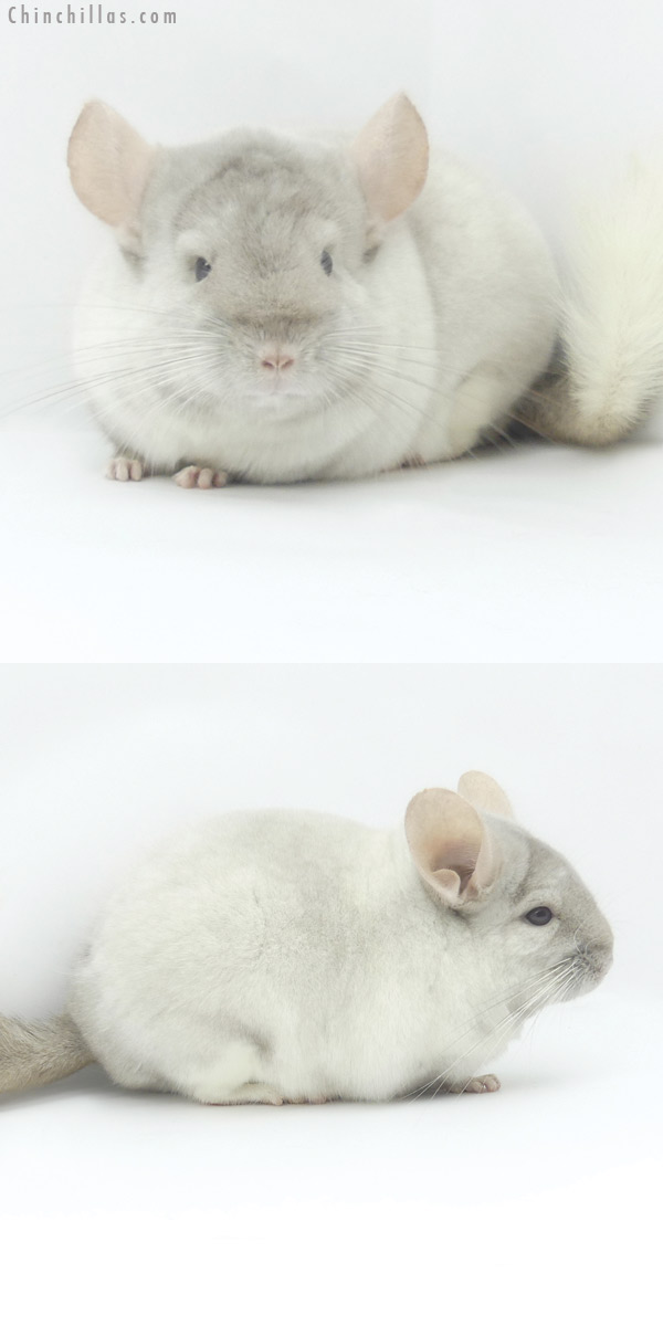 19458 Herd Improvement Quality Tan and White Mosaic Male Chinchilla