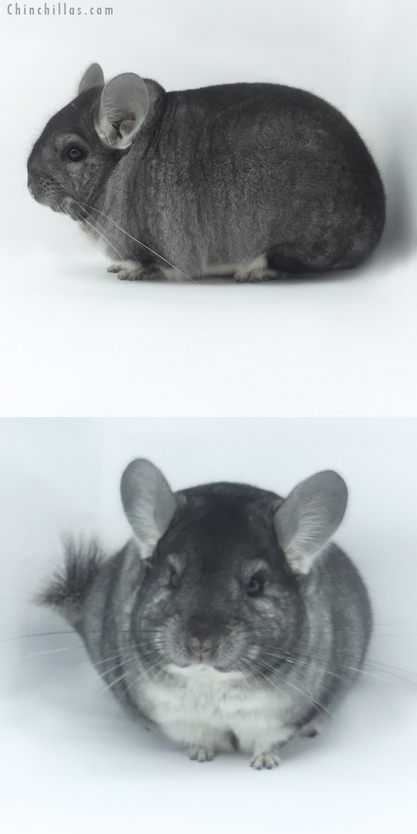 19466 Blocky Premium Production Quality Standard Female Chinchilla