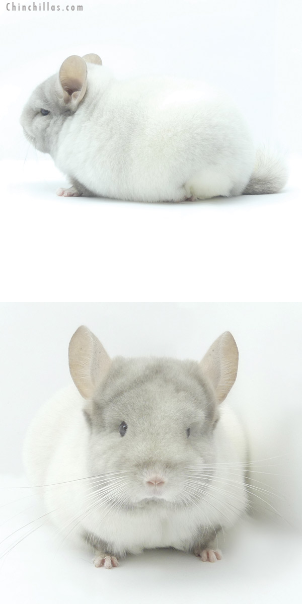 19468 Blocky Brevi Type Premium Production Quality TOV Pink White Female Chinchilla
