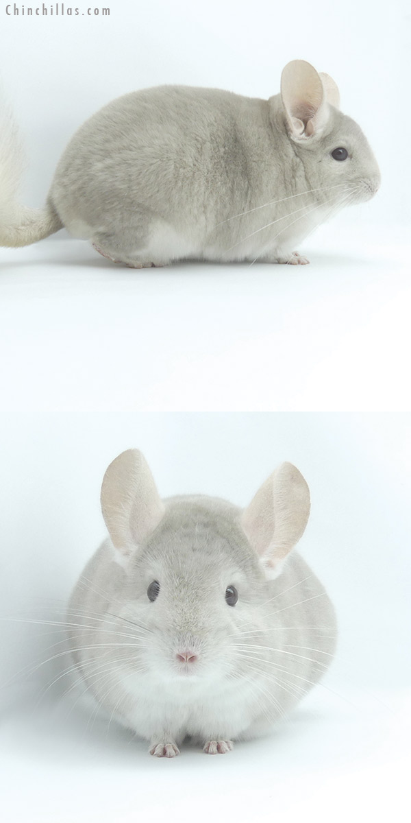 19486 Top Show Quality Beige / Violet Male Chinchilla