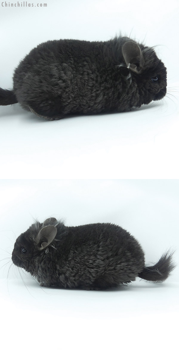 20114 Exceptional Ebony CCCU Royal Imperial Angora Male with Ear Tufts Chinchilla