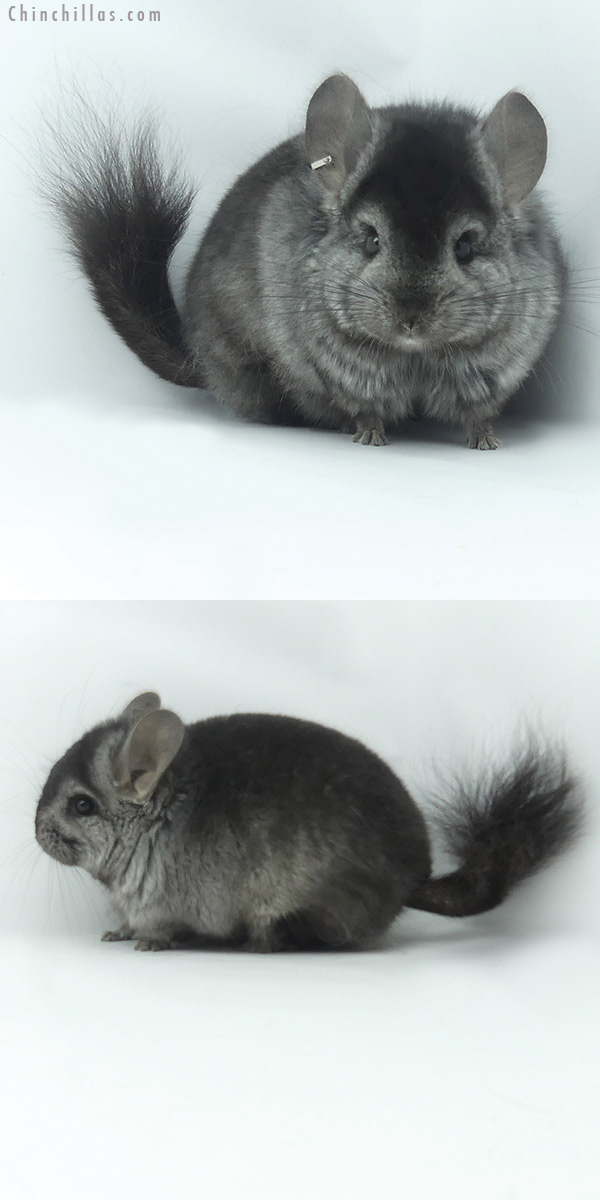 20118 Ebony ( Locken Carrier ) CCCU Royal Persian Angora Male Chinchilla