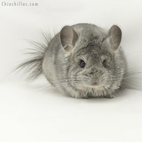 20096 Standard ( Violet Carrier ) CCCU Royal Persian Angora Male Chinchilla