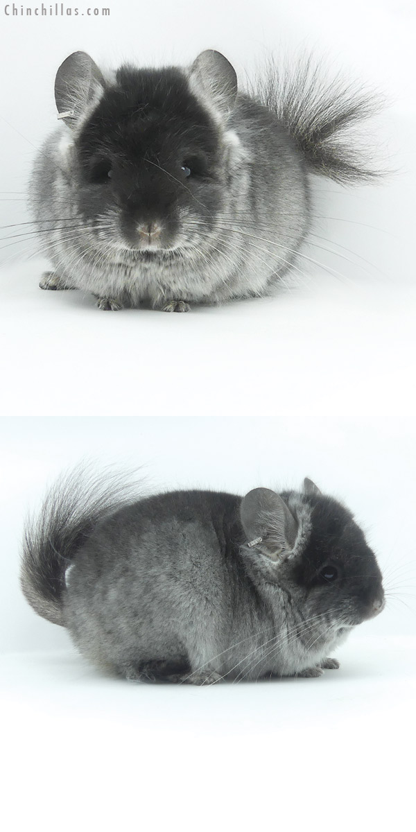 20068 Black Velvet CCCU Royal Persian Angora Female Chinchilla