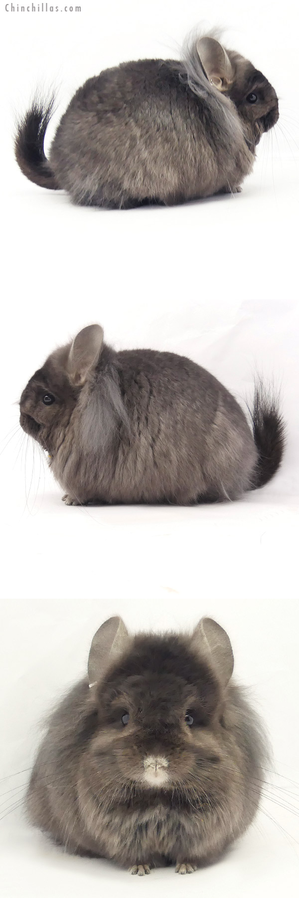 20225 Ebony ( Locken Carrier ) G2 CCCU Royal Persian Angora Female with long Lion Mane Chinchilla