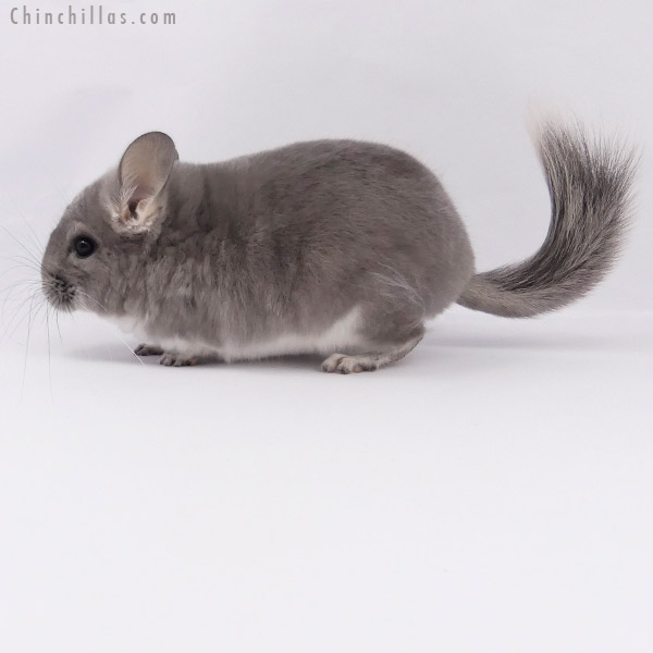 20159 Violet ( Royal Persian Angora Carrier ) Female Chinchilla