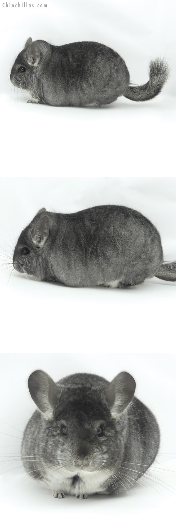 20140 Large Blocky Premium Production Quality Standard Female Chinchilla