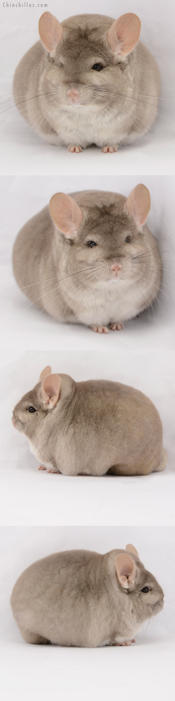 20194 Extra Large Blocky Premium Production Quality Beige Female Chinchilla