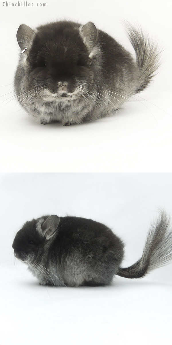 19479 Exceptional Blocky Brevi Type Black Velvet CCCU Royal Persian Angora Female Chinchilla