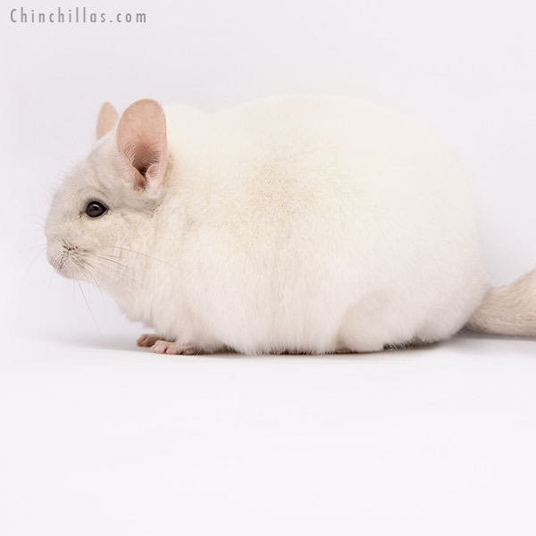 20282 Premium Production Quality Pink White Female Chinchilla