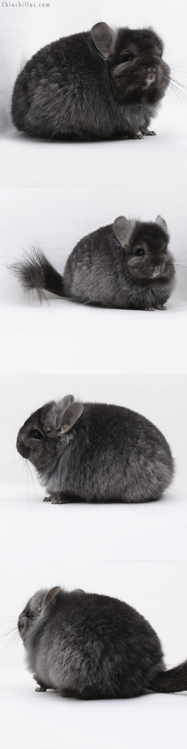 20238 Ebony ( Locken Carrier ) CCCU Royal Persian Angora Female Chinchilla