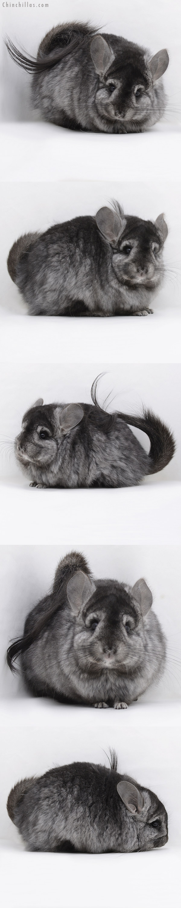 20244 Ebony ( Locken Carrier ) G2 CCCU Royal Persian Angora Female Chinchilla