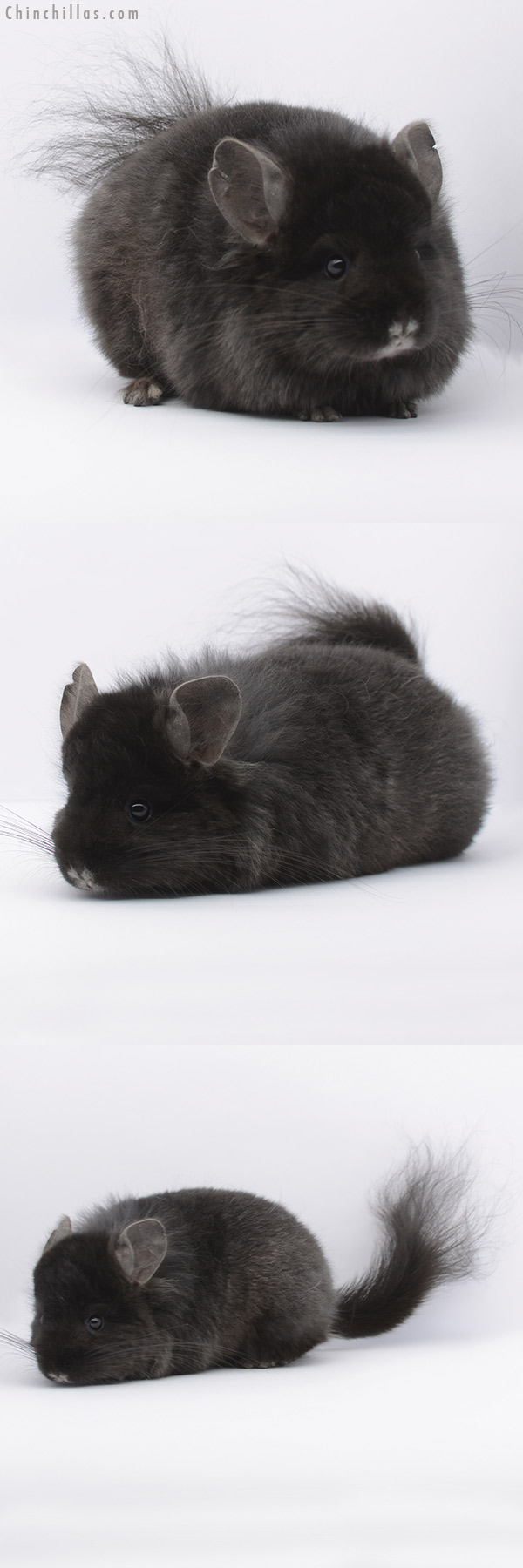 20301 Ebony ( Locken Carrier ) CCCU Royal Persian Angora Male Chinchilla