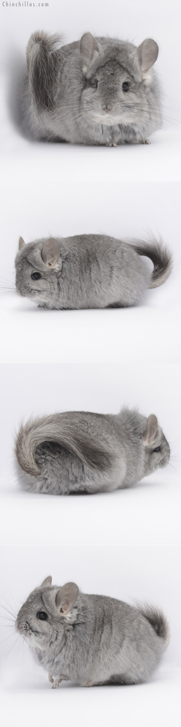 20324 Standard ( Ebony & Locken Carrier ) G2 CCCU Royal Persian Angora Female Chinchilla