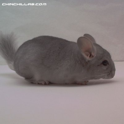 1465, Showable, Young Sapphire Female Chinchilla
