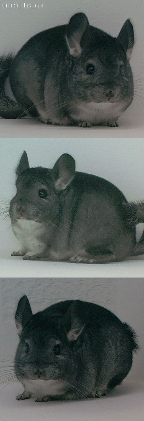 1555 Show Quality Standard ( Ebony Carrier ) Female Chinchilla