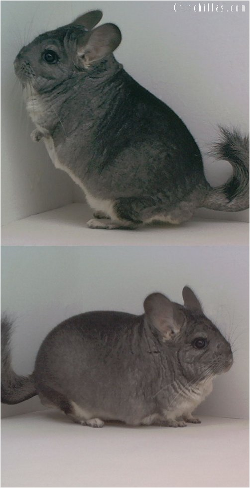 1642 Extra Large Show Quality Standard Male Chinchilla