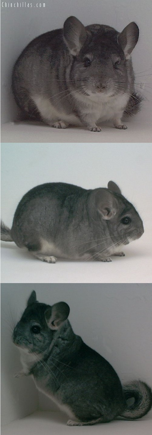 1645 Blocky / Brevi Show Quality Standard Male Chinchilla