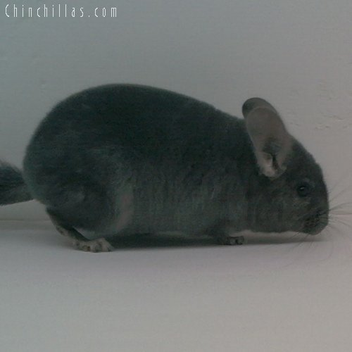 1728 Showable Wrap-around Violet Female Chinchilla