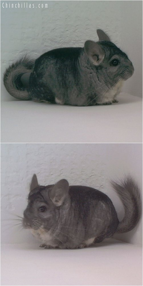 1771 Extra Large Standard Male Chinchilla