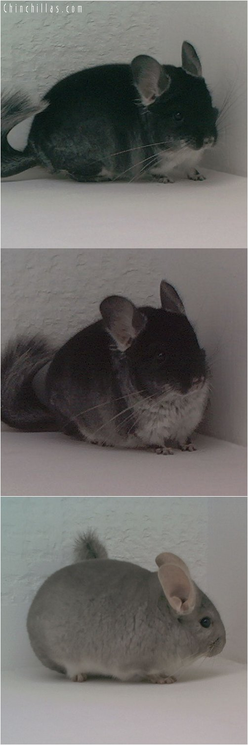 Lot 40 TOV Beige / Brown Velvet Producing Pair Chinchilla
