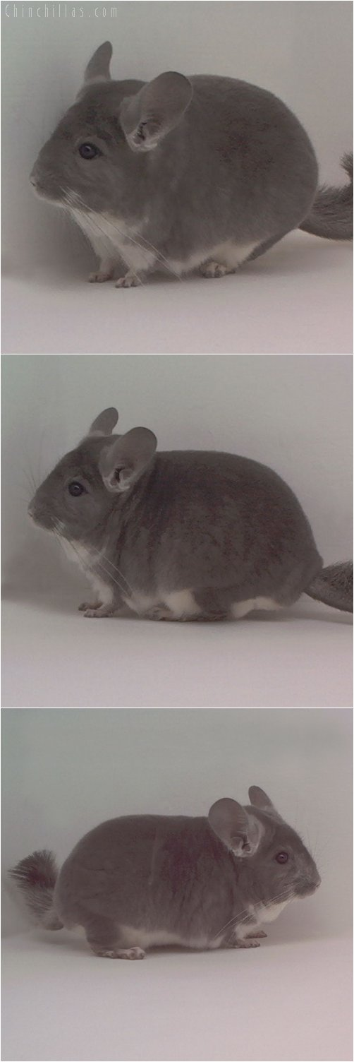 1845 ECBC 1st Place Violet Male Chinchilla