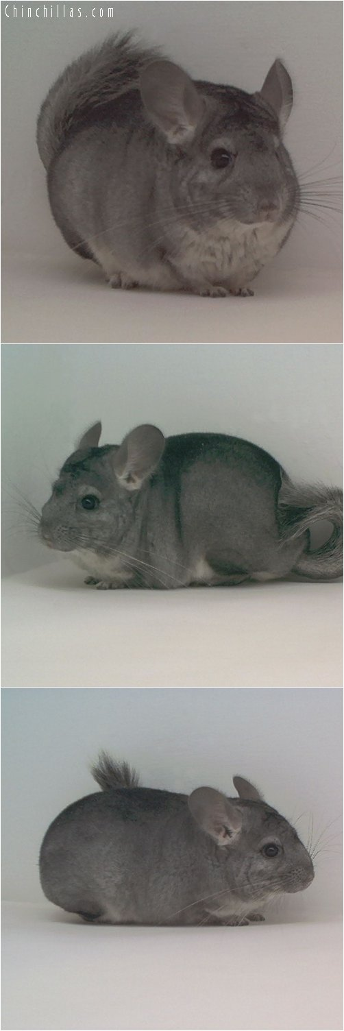 1798 Standard ( Violet Carrier ) Female Chinchilla