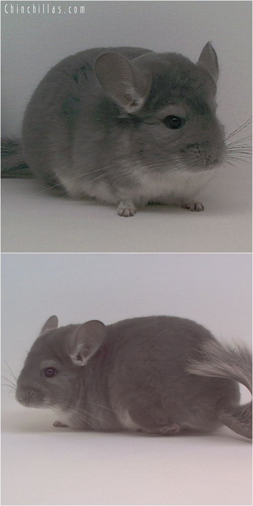 1905 Show Quality Violet Female Chinchilla