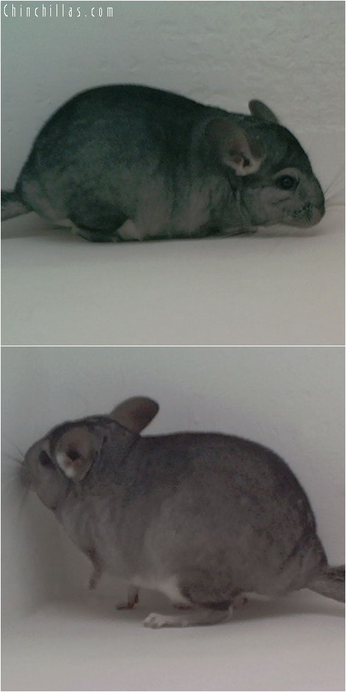1957 Standard ( Violet Carrier ) Female Chinchilla