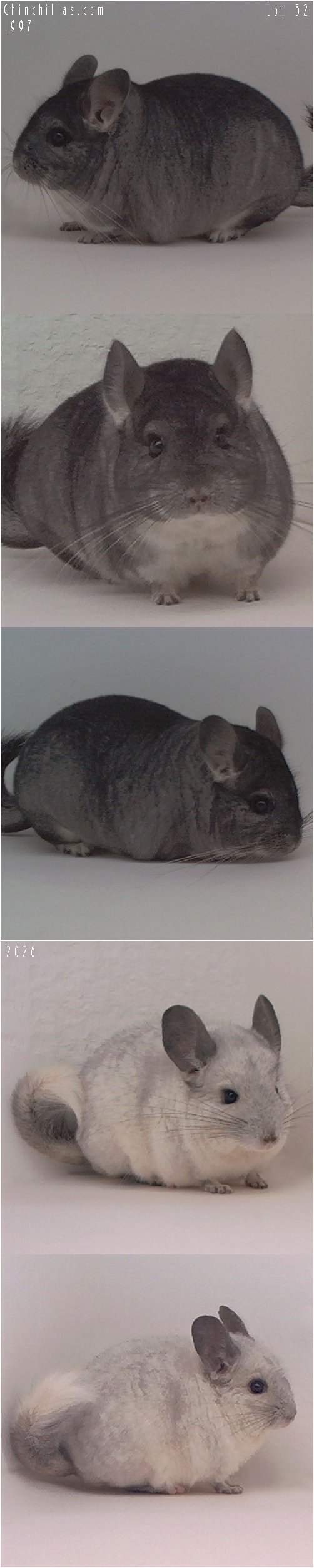 Lot 52 White Producing Pair Chinchilla