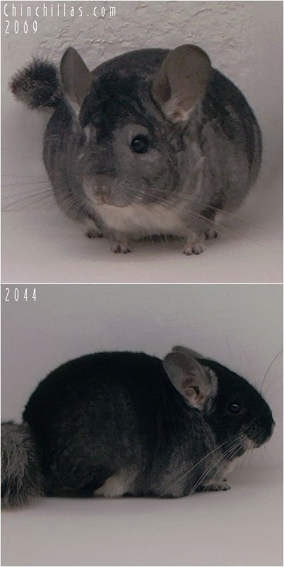 Lot 55 Black Velvet and Standard Pair Chinchilla